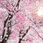 Painel fotográfico com flor de cerejeira
