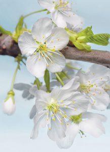Painel Fotográfico Flores Blossom Ref. XXL2-033