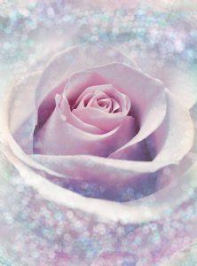 Painel Fotográfico Rosa Delicate Rose Ref. XXL2-020