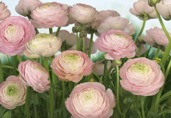 Painel Fotográfico Flores Gentil Rose Ref. 8-894