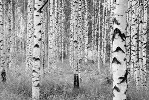 Painel Fotográfico Floresta Branca Woods Ref. XXL4-023
