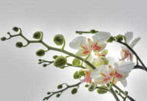 Painel Fotográfico com imagem de Orquidea Branca - 1-608