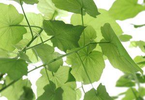 Painelo fotográfio Folhas de Uva - 8-506