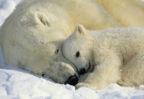 painel fotográfico com imagem de urso porlar - 1-605